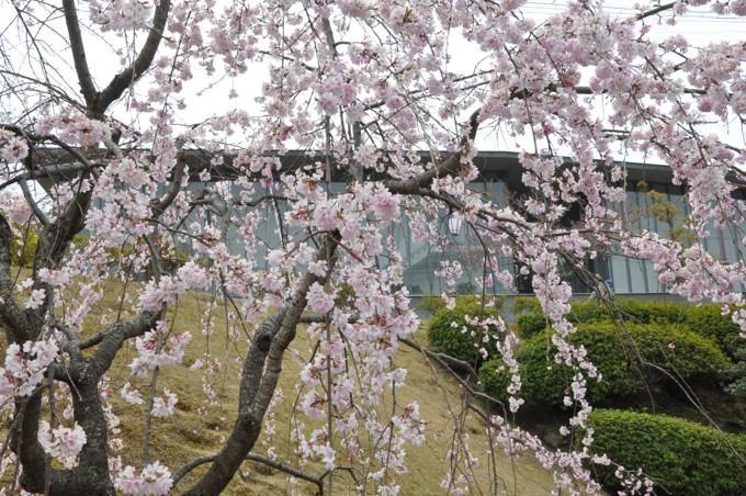 千光寺 しだれ桜